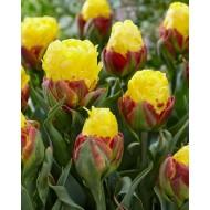 Double-Flowered Yellow Tulips - Ice Cream Banana
