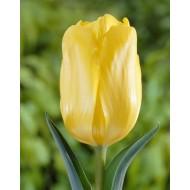Tulip 'Jan Van Nes' - Pack of 12 Bulbs
