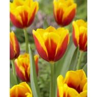 Tulip 'Kees Nelis' - Pack of 12 Bulbs