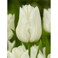 Tulip 'Kiwanis' - Pack of 12 Bulbs