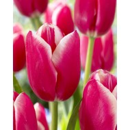 Tulip 'Lucky Strike' - Pack of 12 Bulbs