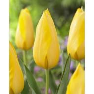 Tulip 'Muscadet' - Pack of 12 Bulbs