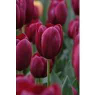 Tulip 'National Velvet' - Pack of 12 Bulbs