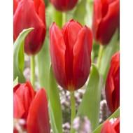 Tulip 'Oscar' - Pack of 12 Bulbs