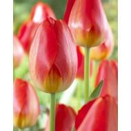 Tulip 'Prins Claus' - Pack of 12 Bulbs