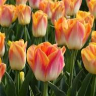 Tulip Salmon Dynasty - Pack of 25 Bulbs