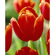 Tulip 'Verandi' - Pack of 12 Bulbs