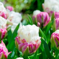 Tulip Ice Cream - Pack of 6 Bulbs