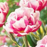 Tulip Toplips