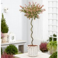 Standard Topiary Tree - Corksrew Stem Salix integra Flamingo - Corkscrew Standard Tree