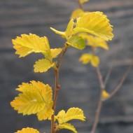 Ulmus pumila aurea 'Beijing Gold' - Dwarf Chinese Elm
