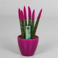 Sansevieria Velvet Touchz Hot Pink