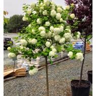 Fragrant SNOW BALL TREE - Patio Standard Viburnum opulus roseum - Snowball Tree