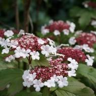 Viburnum Sargentii Onondaga - Large Specimen