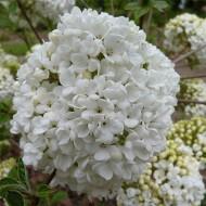 Viburnum Eskimo - Large Specimen