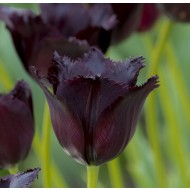 Tulip 'Vincent Van Gogh' - Pack of 12 Bulbs