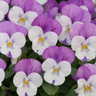 SPECIAL DEAL - Pair of Viola Planters - Purple Rose Wing Romance Designer Blend - In Bud & Bloom