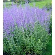 Perovskia Blue Spire - Russian Sage Little Spire