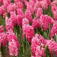 Hyacinth Jan Bos - Pack of 5 Bulbs