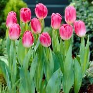 Tulip Dynasty - Pack of 25 Bulbs