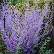 Perovskia Blue Spire - Russian Sage Little Spire - Pack of THREE
