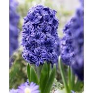 Hyacinth 'Royal Navy' - Pack of 5 Bulbs