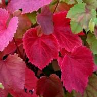 Large 5-6ft Climber - Vitis Coignetiae - Crimson Glory Vine