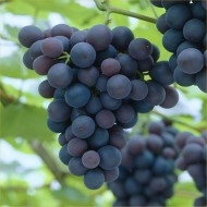 Grape Vine - Vitis Boskoop Glory - Blue Grape