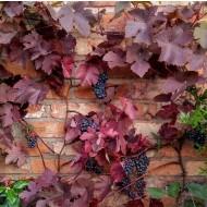 Large circa 6ft Grape Vine - Vitis vinifera 'Purpurea'