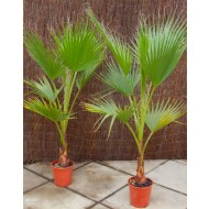Mexican Fan Palm - Washingtonia Robusta for Patio or Deck - Approx 75-120cms (3-4ft) tall