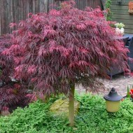 Large 100cm Filigree Weeping Purple Acer - Japanese Maple Tree - Garnet