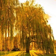 Salix sepulcralis 'Chrysocoma' - Golden Weeping Willow