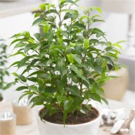 Dwarf Weeping Fig - Ficus 'Natasja' with White Display Pot