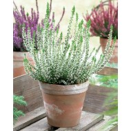 Heathers - Pack of THREE - WHITE Flowering Calluna Heather Plants
