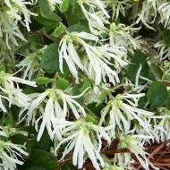 Loropetalum chinensis Carolina Moonlight - Emerald Snow Dance Chinese Witch Hazel