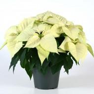 White Poinsettia - The Essential Christmas Plant - In White!