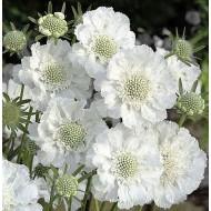 Scabiosa caucasica perfecta Alba - White Scabious