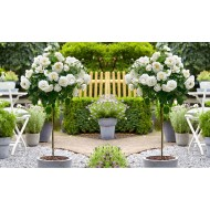 Pair of Standard WHITE Flowering PATIO Rose Trees 80-100cm tall