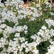 Aubretia gracilis Regado White Snowdrift