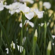 Complete Water Plant Pond Kit - White Iris