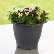 SPECIAL DEAL - Winter Wonder Viola Planter - In Bud & Bloom