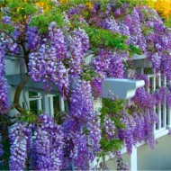 Wisteria Amethyst Falls - Established 5-6ft tall vine
