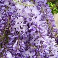 Wisteria Caroline - Large Specimen Plant 6ft+