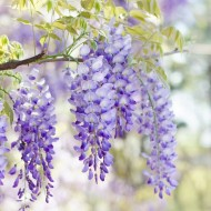 Wisteria floribunda Domino ('Issai') - Large Specimen Plant 6ft+