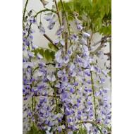 Wisteria floribunda Lawrence - Bicolour Japanese Wisteria - Large Specimen Plant 6ft+