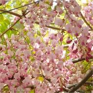 Wisteria floribunda Honbeni - Pink Ice Japanese Wisteria - Large Specimen Plant 6ft+