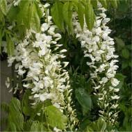 Wisteria floribunda Longissima Alba - Shiro Noda - Rare White Japanese Wisteria - Large Specimen Plants 6ft+