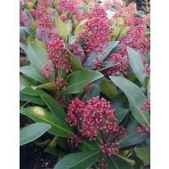 Skimmia japonica Rubella - Evergreen in Bud