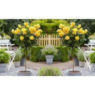 Pair of Standard YELLOW Flowering PATIO Rose Trees 80cm tall
