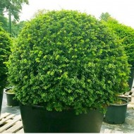English Yew Topiary Ball - Taxus baccata - Large